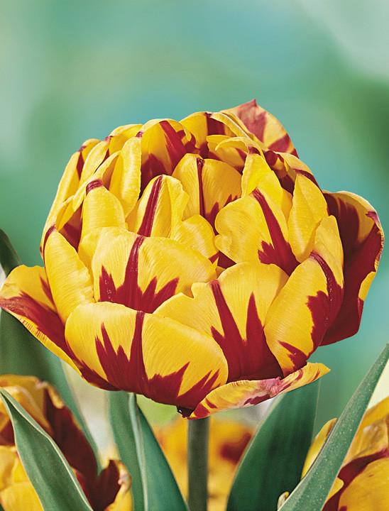 Тюльпан Golden Nizza (1 шт.)