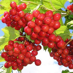Саджанці калини червоної Садова 1 (Vibumum opulus) - рання, червона, крупноплідна