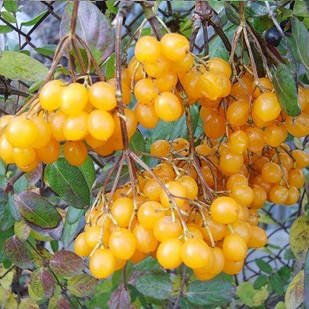 Саджанці калини жовтої звичайної (Viburnum opulus) - рання, жовте, кисло-солодка