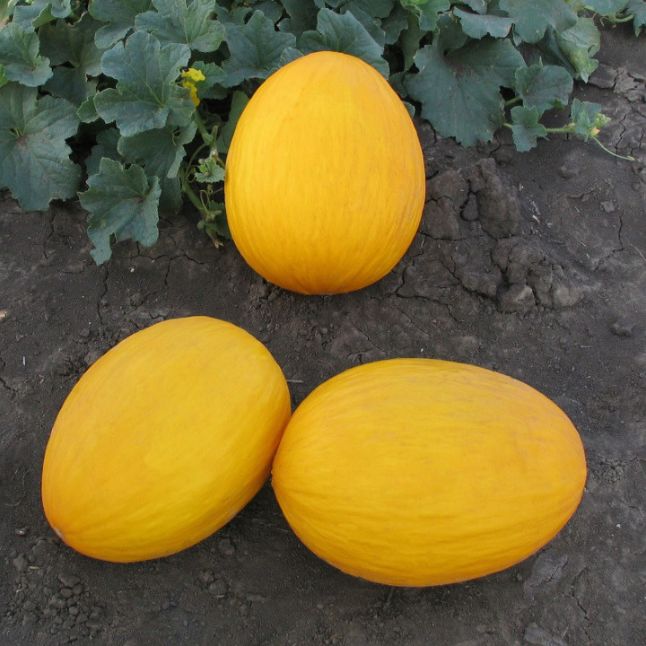 Семена дыни Мира F1 1000 семян Kitano seeds