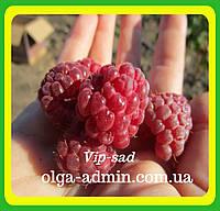 Саженцы малины сорт Октавия (крупная, зимостойкая, ароматная)