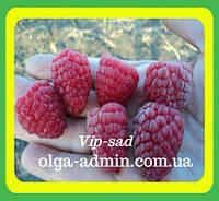 Саженцы малины сорт Глен эмпл 2 х летка (Высокоурожайная, крупная, сладкая)