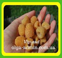 . Саженцы малины сорт Желтый гигант (Крупная, сладкая, вкусная)