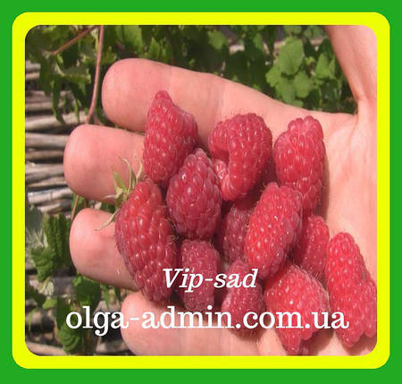 Саженцы ремонтантной малины сорт Брусиловский стандарт , фото 2