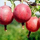 Саженцы Крыжовника Колобок - средний, крупноплодный, неприхотливый, фото 2