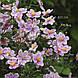 Анемона войлочная 'Robustissima' (корневище), фото 4