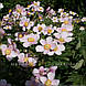Анемона войлочная 'Robustissima' (корневище), фото 3