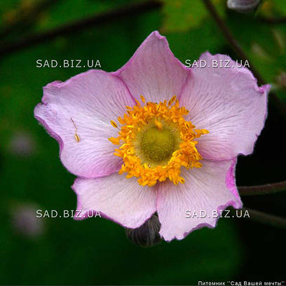 Анемона войлочная 'Robustissima' (корневище)
