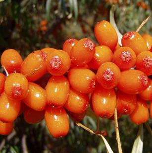 Саженцы Облепихи Чуйская (женский) - средняя, крупноплодная, ароматная