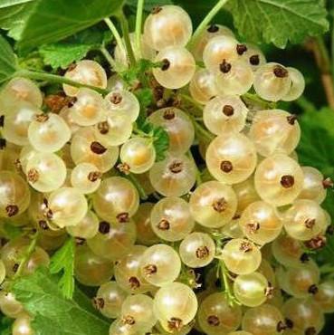 Саджанці смородини білої Білка - рання, біла, урожайна