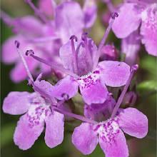 Семена пряно-ароматических трав