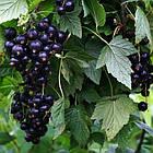 Саженцы смородины черной Сюита Киевская - средне-ранняя, крупноплодная, промышленная, фото 2