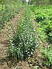 Продажа посадочного материала для живой изгороди. Бирючина, граб, можжевельник, туя, самшит и др. растения