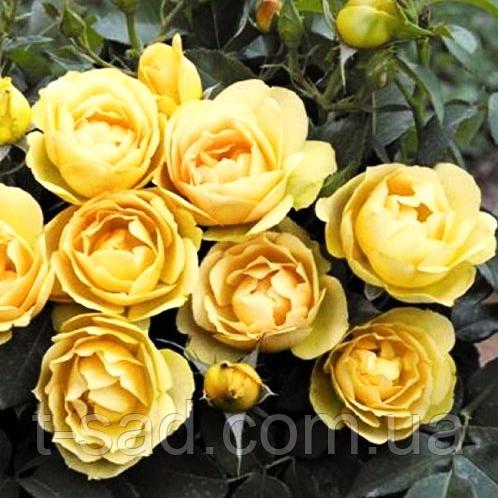 Саженцы роз флорибунда Paolo Pejrone, корень ОКС