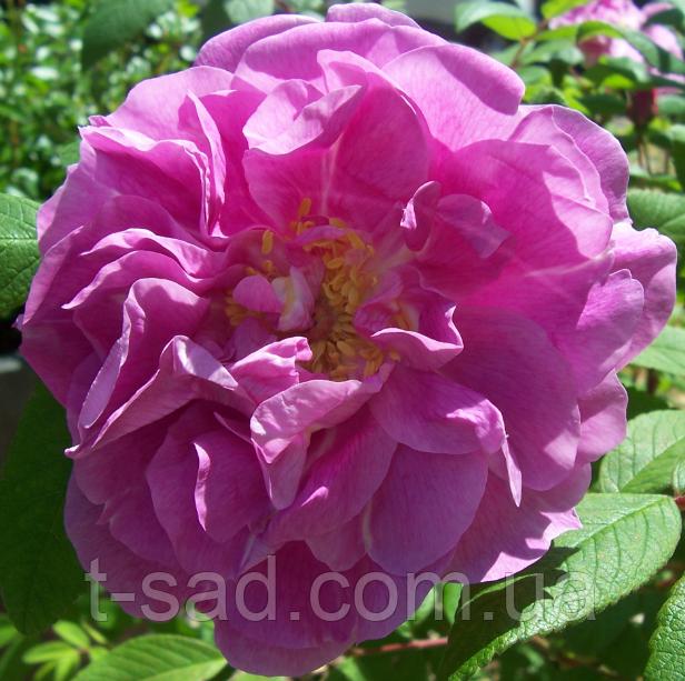 Роза парковая Therese Bugnet саженцы, корень ОКС