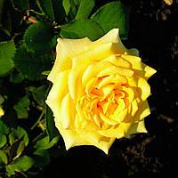 Саженцы чайно-гибридной розы Landora