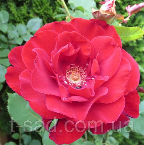 Роза Champlain парковая, саженец, корень ОКС