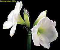 Гиппеаструм White (Вайт)луковица 24/26