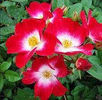 Роза Bukavu (шрабы) корень ОКС