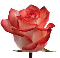 Роза ч/г Блаш (Blush) класс АА