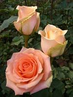 Роза ч/г Версилия (Versilia) класс АА