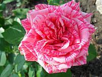 Роза ч/г Пинк Интуишин (Pink Intuition) класс АА