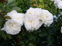 Роза английская  Белая Сенсация (White Sensation) класс АА