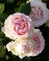 Роза английская плетистая Heart of Rose (Сердце розы) класс АА