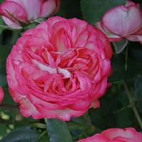 Роза английская плетистая Pink Ice (Розовый Лед) класс АА