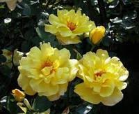 Роза плетистая Голден Шоуэрс (Golden Showers) класс АА