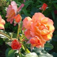 Роза парковая Вестерленд (Westerland) класс АА