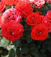 Роза плетистая Закат (Sunset) класс АА