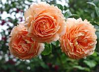 Роза плетистая Полька (Polka) класс АА