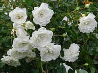 Роза почвопокровная Swany (Свани) класс АА