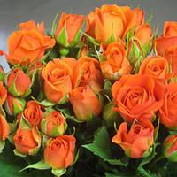 Роза спрей Алегрия (Alegria) класс АА