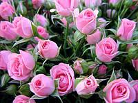 Роза спрей Розовая класс АА