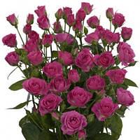 Роза спрей Лавли Лидия (Lovely Lidia) класс АА