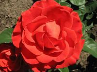 Роза ч/г Эльторо (El Toro) класс А