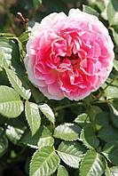 Роза английская  Эдем (Eden) класс А