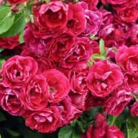 Роза плетистая Фламентанз (Flammentanz) класс А