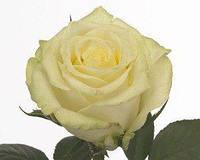 Роза Магади ( Magadi ) чайно-гибридная