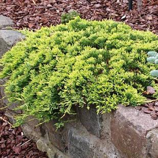 Саженцы Можжевельника горизонтального Голден Карпет(Juniperus horizontalis Golden Carpet)