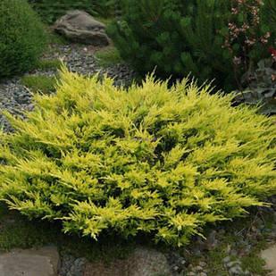 Саженцы Можжевельника горизонтального Лайм Глоу(Juniperus horizontalis Lime Glow)