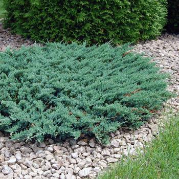 Саджанці Ялівцю горизонтального Хугхи (Juniperus horizontalis Hughes)