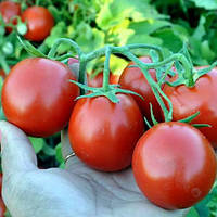 Кэн  томат 100 сем. Глобал сидз