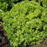 Левант салат 1000  сем. Глобал сидз