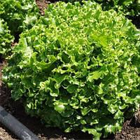 Магриб салат 1000  сем. Глобал сидз