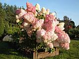 Гортензия метельчатая Sundae Fraise (Сандей Фрейз) 2.5год, фото 2