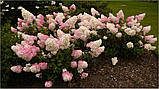 Гортензия метельчатая Vanille Fraise (Ванила Фрейз) 2.5год, фото 3