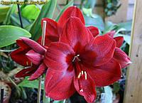 Гиппеаструм Dark Red  (Дарк Ред) луковица 24/26
